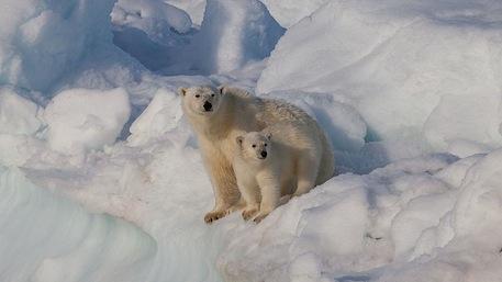 A polar bear and cub