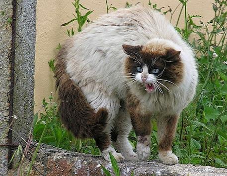 A hissing cat